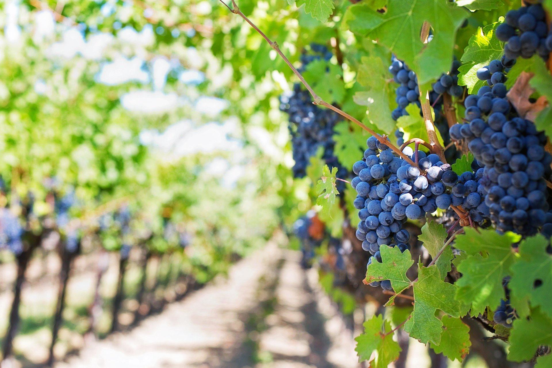 image of Vineyards